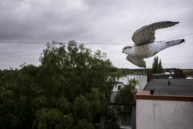 Falkenatrappe zur Spechtabwehr an der Fassade fliegend